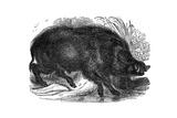 Wild Boar  1848
