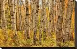 Birch Trees  Acadia