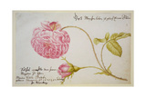 Album Sheet with a Rose  1675