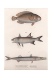 Two-Spot Bimaculus  African Redfin  Common Barracuda  C1850S