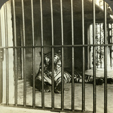 Captured Man-Eating Tiger Blamed for 200 Deaths  Calcutta  India  C1903