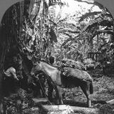 Harvesting Bananas  Costa Rica  1909