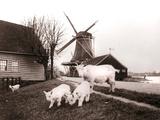 Goats, Laandam, Netherlands, 1898 Papier Photo par James Batkin