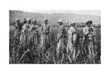 Women Tending Young Sugar Canes in Jamaica  1922