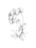 Botanical Sketch V