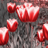 Red Tulips II