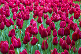 Tulips at KeUKenhof Gardens  Duin- En Bollenstreek  the Netherlands