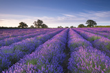 Lavender Field at Dawn, Somerset, England. Summer (July) Papier Photo par Adam Burton