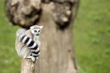 Lemur Sitting on a Log Staring