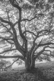 Wild Oak Tree in Black and White Portait  Petaluma  California