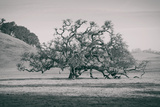 Coast Live Oak Elegance in Black and White  Northern California