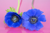 Two Blue Anemones on a Pink Background
