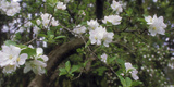 Crab Apple Blooming Branch