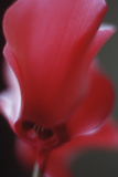 Red Cyclamen Abstract