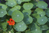 Nasturtium Leaves and Flower