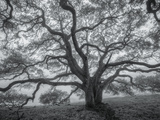 Wild Oak Tree in Black and White  Petaluma  California