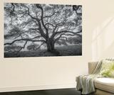 Wild Oak Tree in Black and White  Petaluma  California
