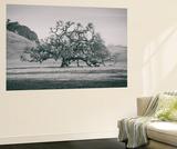 Coast Live Oak Elegance in Black and White  Northern California