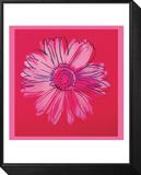 Daisy  c1982  (crimson and pink)
