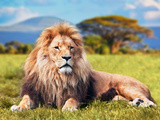 Big Lion Lying on Savannah Grass Landscape with Characteristic Trees on the Plain and Hills in The