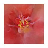 Salmon Hibiscus 1