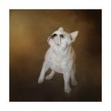 Little Beggar French Bulldog