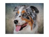 Blue Merle Australian Shepherd Portrait