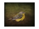 Baby Warbler