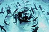 Feeding Frenzy of Caribbean Reef Sharks