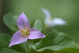 Canada  BC  Vancouver Island Western Trillium  Trillium Ovatum