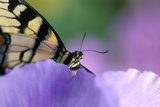 USA  Pennsylvania Tiger Swallowtail Butterfly on Petunia Flower