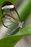 Glasswing Butterfly  Greta Oto