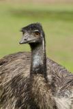 Australia  Adelaide Cleland Wildlife Park Large Flightless Emu