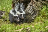 Minnesota  Sandstone  Two Striped Skunk Kits Outside Hollow Log