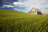 Old Barn Surrounded by Spring Wheat Field  Pr
