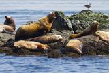 Wa, San Juan Islands, Haro Strait, Steller Sea Lions Papier Photo par Jamie And Judy Wild