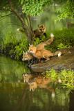 Minnesota, Sandstone, Three Red Fox Kits Gazing Intently Ahead Papier Photo par Rona Schwarz