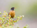 Wyoming  Sublette County  an American Robin Sits in a Current Bush