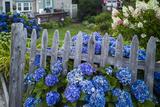 Massachusetts  Rockport  Long Beach  Hydrangea Flowers