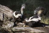 USA  Montana  Kalispell Skunks Eating Egg at Triple D Game Farm