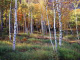 Maine  Acadia National Park  Autumn Colors of White Birch  Betula Papyrifera