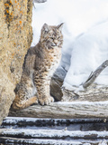 Wyoming  Yellowstone National Park  a Bobcat Sits Along the Madison River  Winter