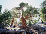 California  Sierra Nevada  Inyo Nf  Old Growth Juniper Tree  Juniperus