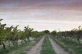 Australia  Barossa Valley  Tanunda  Vineyards  Dawn