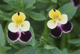USA  Utah  Cache Valley  Johnny Jump Up  Viola Tricolor  Close Up