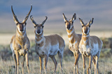 USA  Wyoming  Four Pronghorn Antelope Bucks in Spring