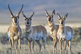 USA, Wyoming, Four Pronghorn Antelope Bucks in Spring Papier Photo par Elizabeth Boehm