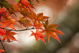 Red Japanese Maple Leaves in Fall