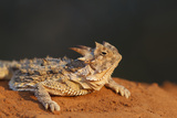 Starr County  Texas Horned Lizard Crawling on Red Soil