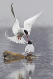 Arctic Terns  Courtship